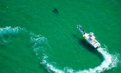 The return of the great white sharks to Cape Cod